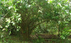 Natural Benefits of Amazonian Leaf Known as Guayusa
