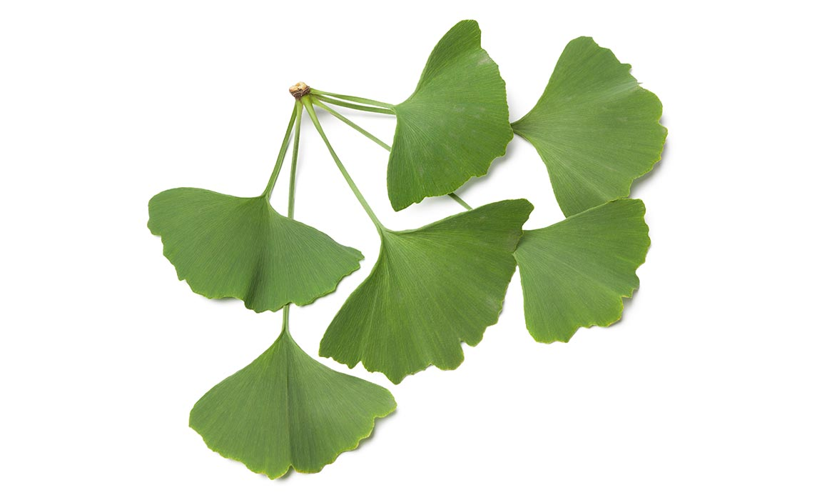 Proponents suggest Ginkgo biloba can protect against aging-related issues